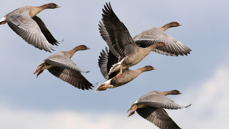 Pink footed geese, photo by Nick Appleton