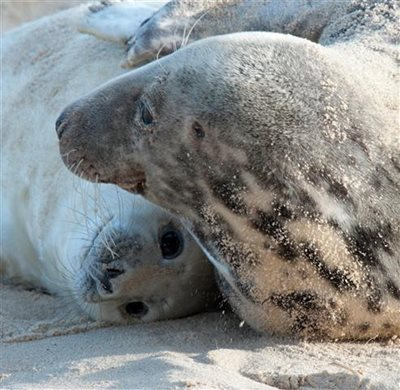 Common seal pup, photo by Jackie Dent