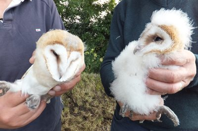Barn owl chicks, © Ulster Wildlife