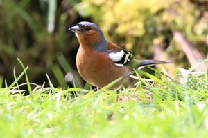 Chaffinch, by Nick Goodrum