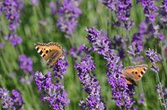 Two small tortoiseshell butterflies by Duncan McNab