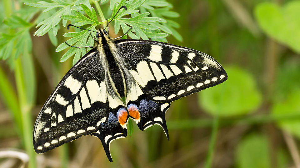 Swallowtail butterfly, seen in the Norfolk broads