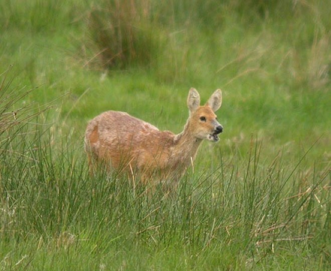 Chinese Deer Species Chinese Water Deer Norfolk
