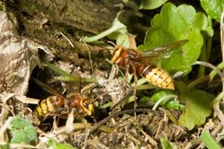 What should I do if I have a hornet's nest in my garden?