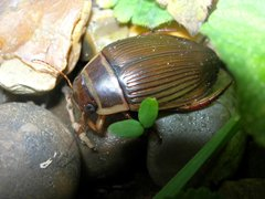 Great Diving Beetle, Thorpe St. Andrew, Chris Durdin