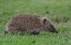 Why are hedgehogs declining?