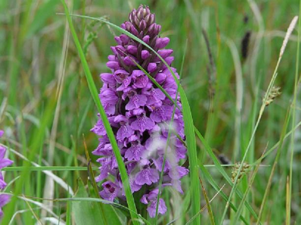 Early Marsh Orchid Norfolk Wildlife Trust
