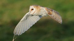 Wildlife in Common - barn owl