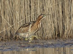Where and when can I hear a bittern calling?