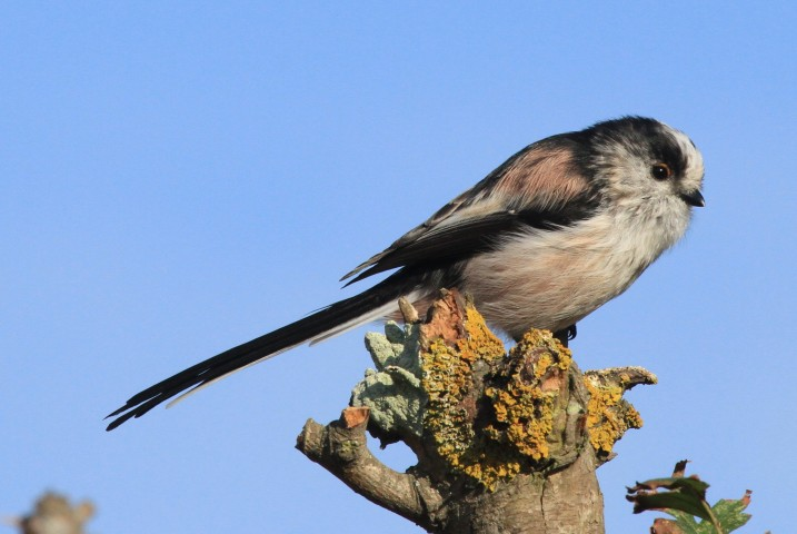 Long-tailed tit by Julian Thomas