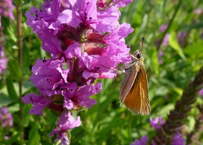 Essex skipper on purple loosestrife