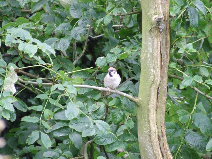 Tree Sparrow, Norfolk, Rose Little
