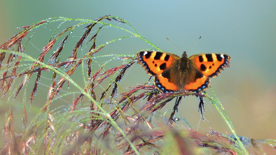 Small tortoiseshell, photo by Liz Dack