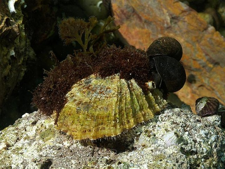 Common Limpet, Rob Spray