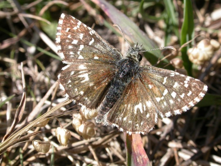 Grizzled skipper, NWT Narborough, Andrew Ramsey