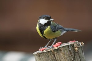 Great tit, by David Savory