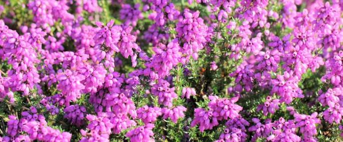 Bell heather by Tony Short