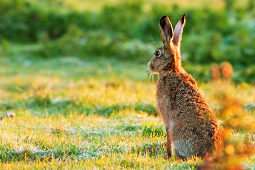 All about hares in Norfolk