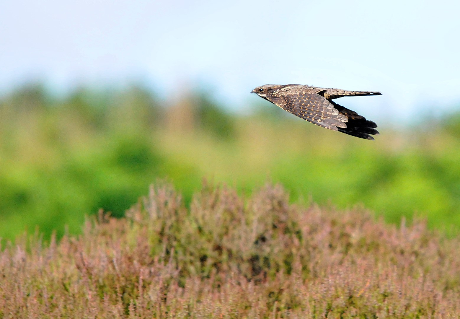 9 for 90: Nightjar