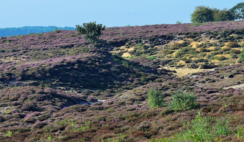 Heather at Roydon Common