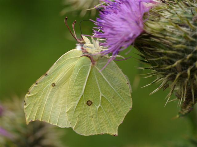 Brimstone - Norfolk Wildlife Trust