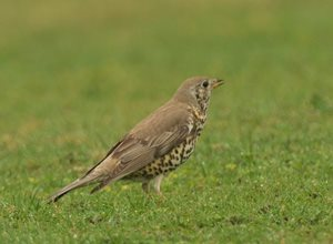 Mistle thrush by Elizabeth Dack;