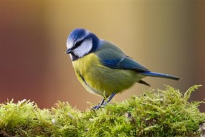 Blue tit by Graham Brownlow