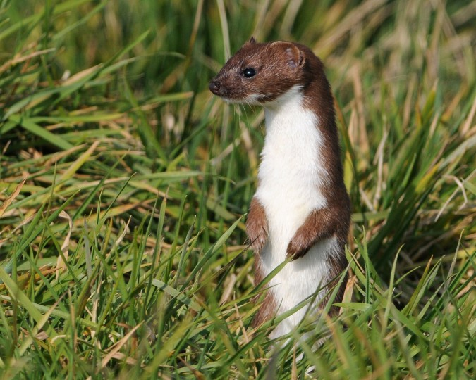 Stoat by Nick Appleton