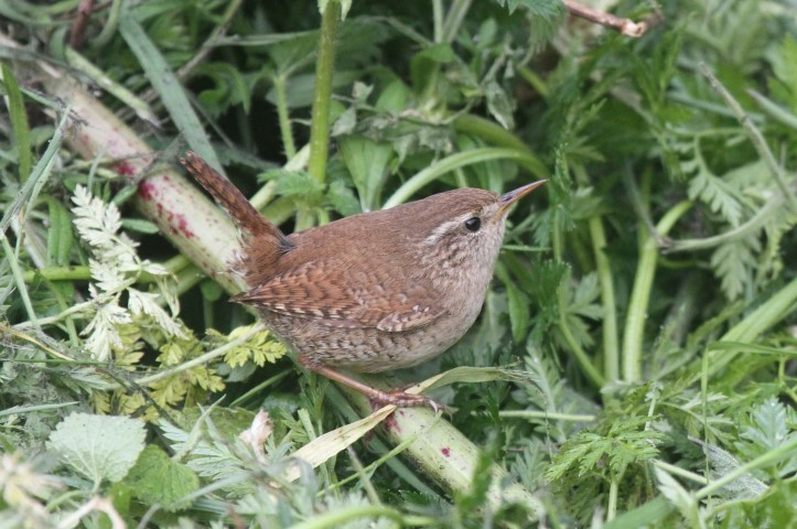 Can wrens have sex at sea