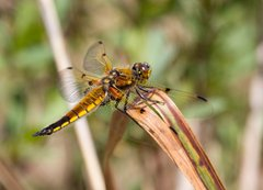 Four Spotted Chaser, NWT Upton Broad and Marshes, Greg Bond