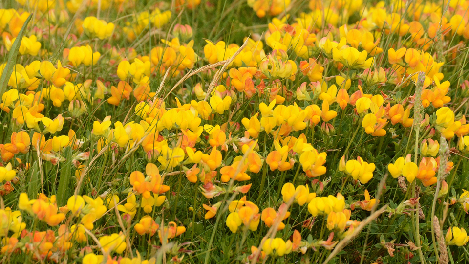 Bird-foot trefoil by Elizabeth Dack