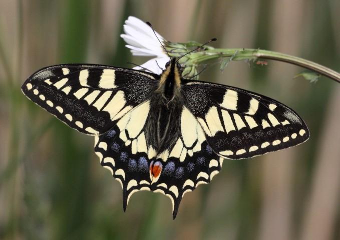 swallowtail butterfly norfolk wildlife trust