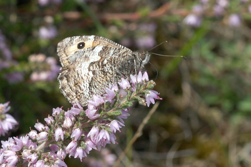 Wildlife in Common - Grayling butterfly