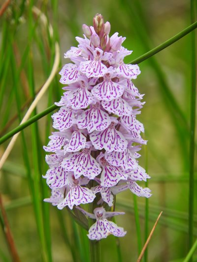 Heath spotted orchid, by David North