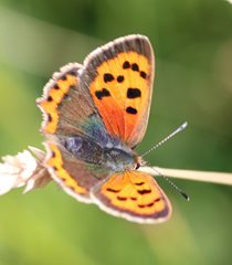 Small copper butterfly at Horsey Gap by Nick Goodrum
