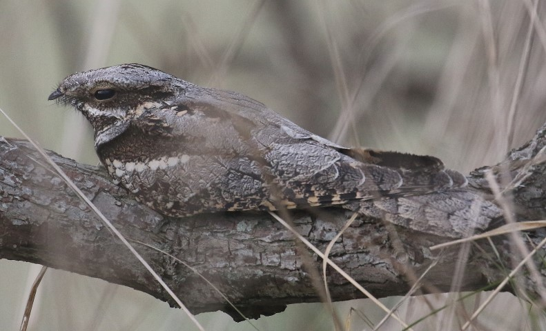 2018-06-27 Evening nightjar walk with the