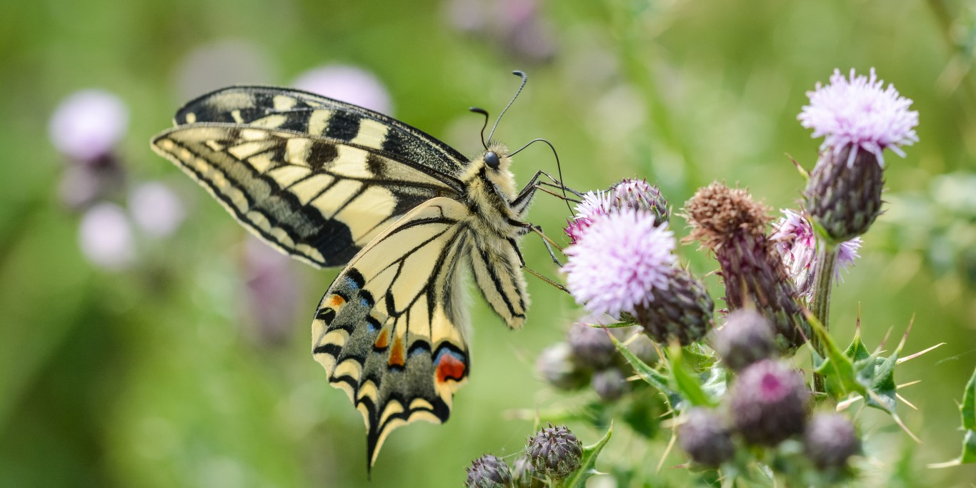 9 for 90: Swallowtail Butterfly