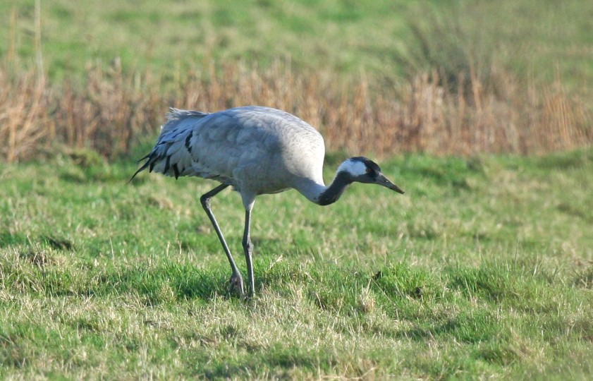 Common Crane, Horsey, Julian Thomas