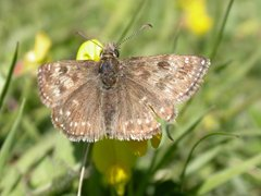 Dingy skipper, NWT Narborough Railway Line, Andrew Ramsey