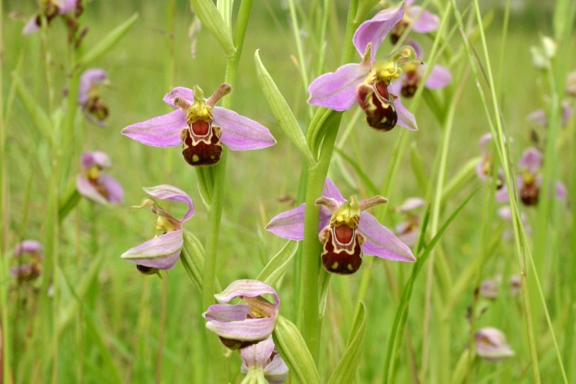 Bee Orchid by David North