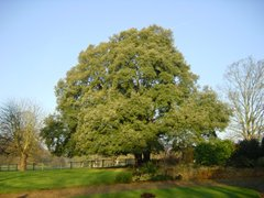 Oak, Harleston, Yvonne Seaman