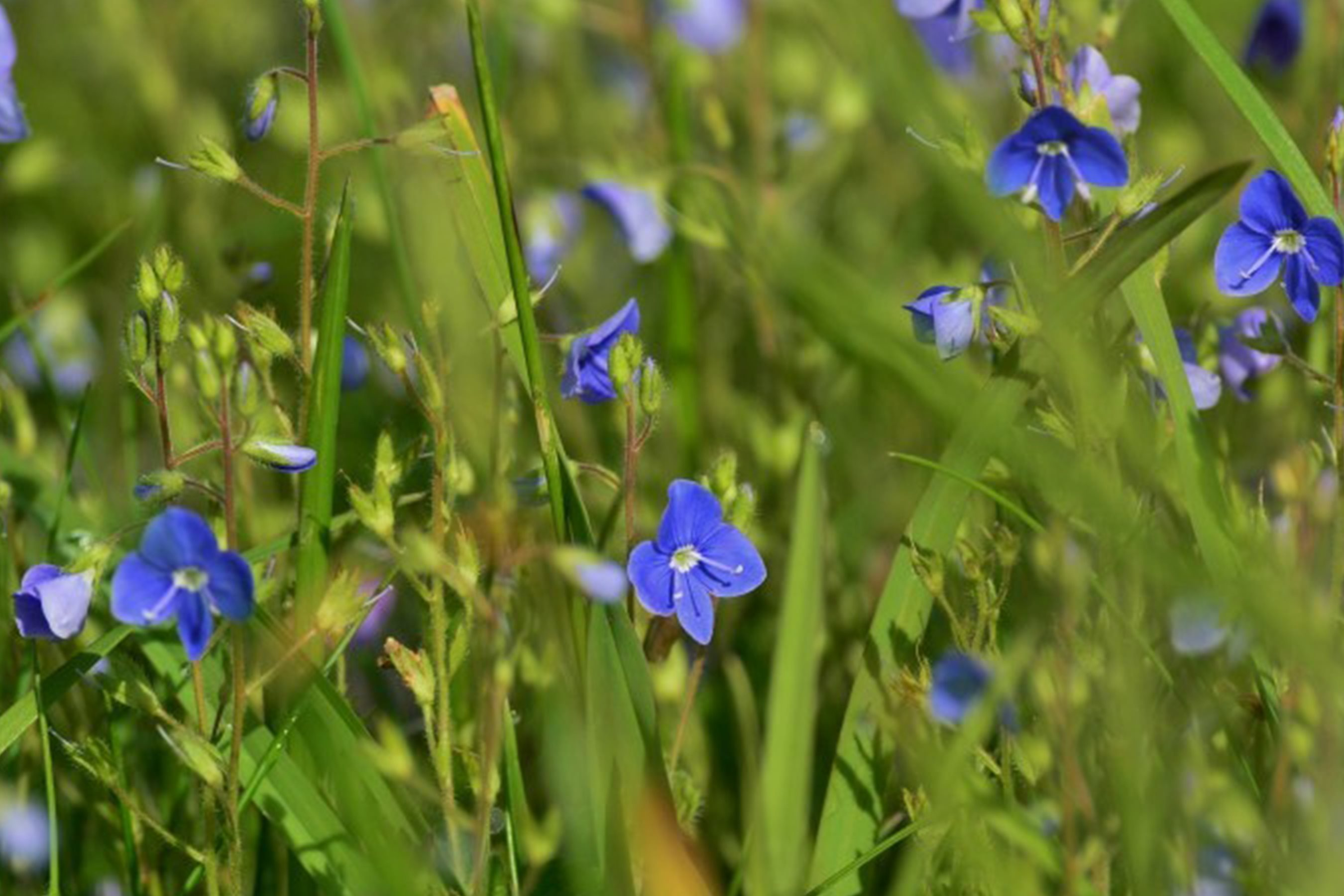 Germanda Speedwell