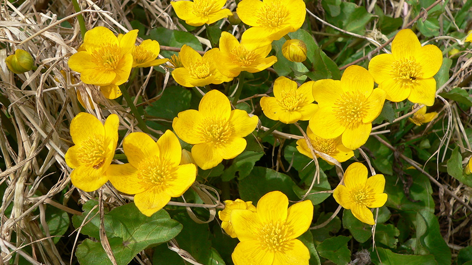 Marsh marigold by David North
