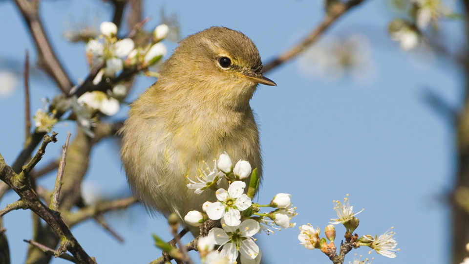 Chiffchaff, photo by David Tipling