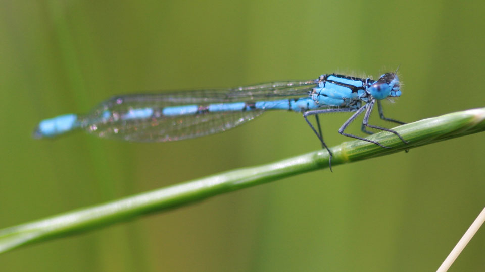 Common Blue Damselfly by Vicky Nall