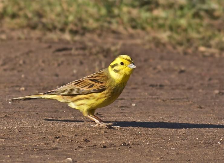 yellowhammer norfolk wildlife trust