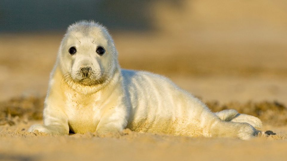 Grey seal pup, photo by Peter Mallett