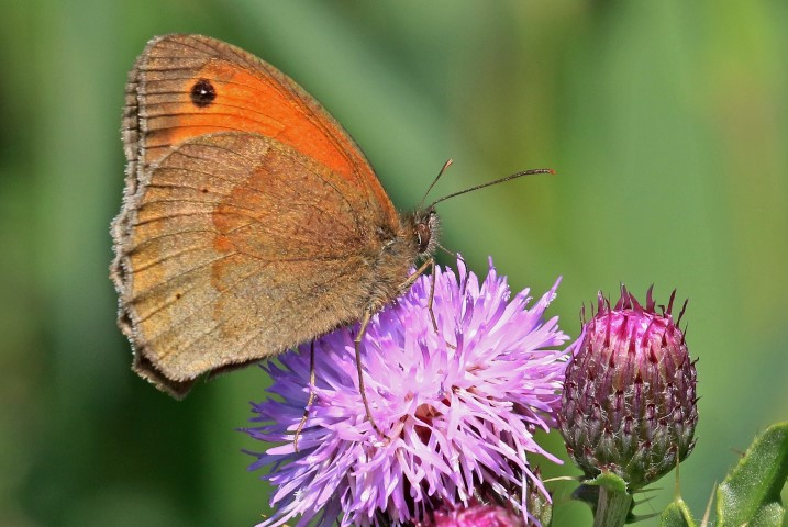 Meadow brown butterfly by Paul Taylor