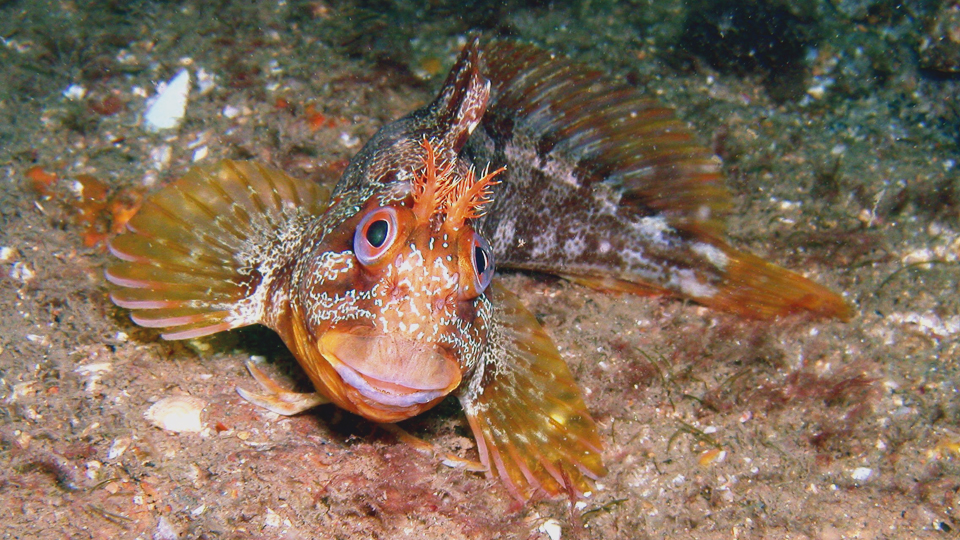 Tompot blenny, photo by Rob Spray