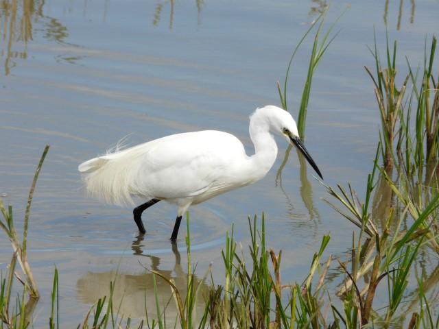 setting of a white heron